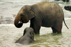 A dip in the water is seventh heaven for a baby elephant