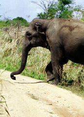 Wild elephants crossing the pathways is a common sight