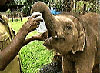 Sri Lanka can proudly claim to have the one and only Orphanage for orphaned elephants.