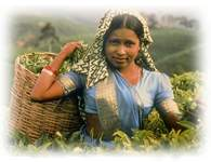 A tea picker with her basket of tender tea leaves