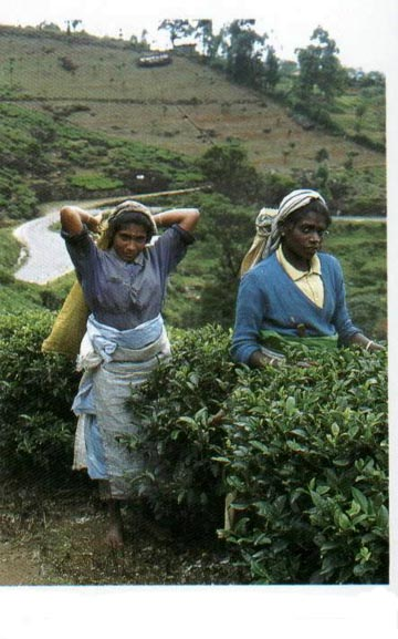 Tea Pickers are the backbone of the tea industry in Sri Lanka