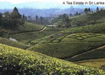A typical tea estate in the central highlands of Sri Lanka