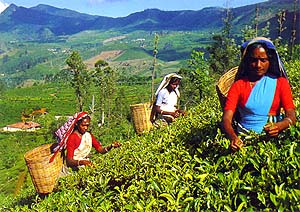 A Tea Estate and its workers in the hills