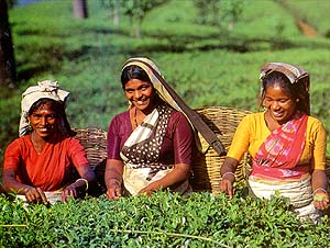 Tea will not be the same without these workers
