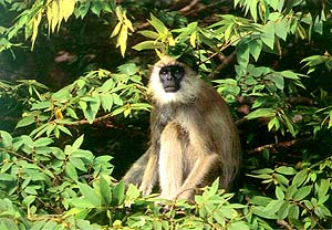 an introduction to the history and nature of macaque monkeys 2018-6-2 in many respects the ecological history of the area is similar to  kuala selangor nature park has over 200  the mischievous long-tailed macaque,.
