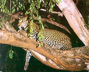 A leopard perched on the branch of a tree